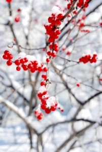 winter berries best